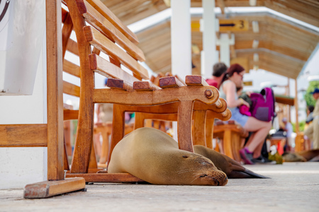 Gorgeous seal in the fish market sleeping with some tourists in the background, located in the city of Puerto Ayora in Galapagos