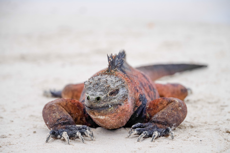 Portrait of Galapagos marine iguana warming itself in the sun. The only sea-going lizard needs to warm up before diving as being cold blooded it can only stay in the water for short periods