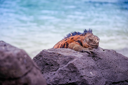 Outdoor view of gorgeous orange marine iguana resting on the rocks at Galapagos islands Фото со стока
