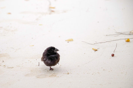 Galapagos Finch Geospiza fortis male perched on a white sand in Santa Cruz, Galapagos Islands 스톡 콘텐츠