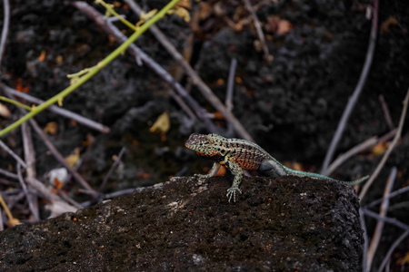 A Lava Lizard Tropidurus sp. in the Galapagos Islands Isabela Island