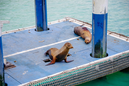 Sea Lions on the boat docks in San Cristobal in Galapagos Island Stock Photo
