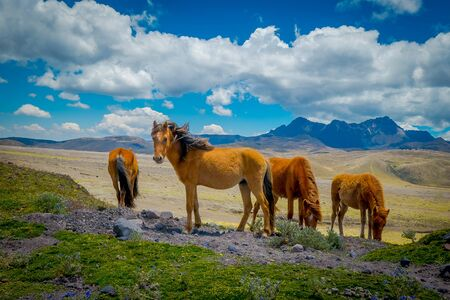 Wild horses in the Andes Mountains, wandering and grazing on fresh green field freely in the morning