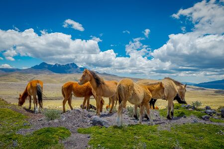 Wild Horses in the Cotopaxi National Park, Ecuador