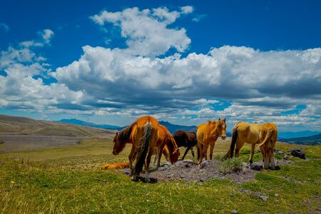 Wild horses in the Andes Mountains, wandering and grazing on fresh green field freely in the morning Фото со стока