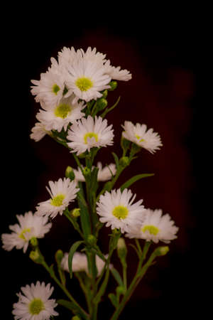 A bouquet of Astee white Summer flowers variety, studio shot, white flowers variety.. High quality photo