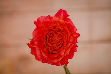 A bouquet of Free Spirit roses variety, studio shot, orange flowers. High quality photo