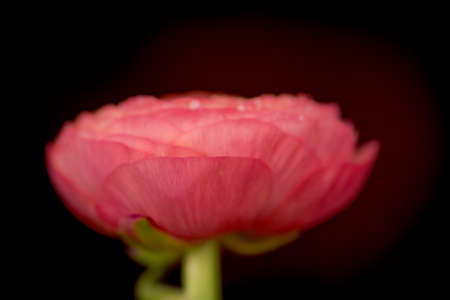 A bouquet of Ranunculus Peach Summer flowers variety, studio shot, pink flowers. High quality photo Banque d'images