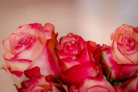 A bouquet of Paloma roses variety, studio shot, pink flowers. High quality photo