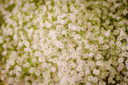 A bouquet of Million Stars foliage variety, studio shot, white flowers. High quality photo