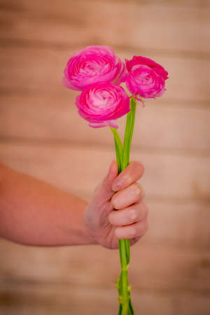 Close up of a bouquet of Ranunculus Pink Summer flowers variety, studio shot, pink flowers Banque d'images