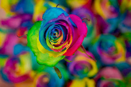 Close up of a bouquet of Tinted Rainbow roses variety, studio shot, multicolored flowers Banque d'images