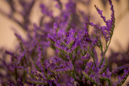 Close up of a bouquet of Limonium Maine Blue Foliage variety, studio shot, purple flowers
