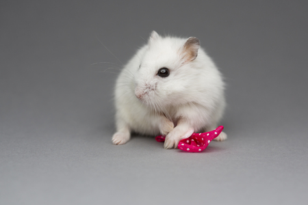Cute hamster girl with pink bow on Valentines day on gray background postcard