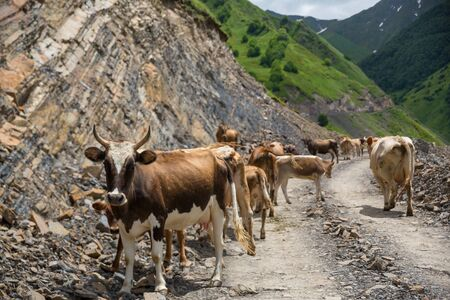 Georgia, mountain road with cows. Mountain road to Dusheti region Alpine fields with cows.