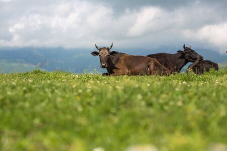 Cows on the alp fields. A cows is sitting at an alpine meadow in the alps 版權商用圖片