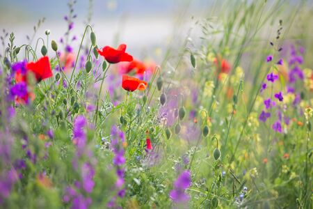 Beautiful summer meadow nature. Spring and summer flowers under blue sky and sunlight near Shemakha, Azerbaijan. Banque d'images