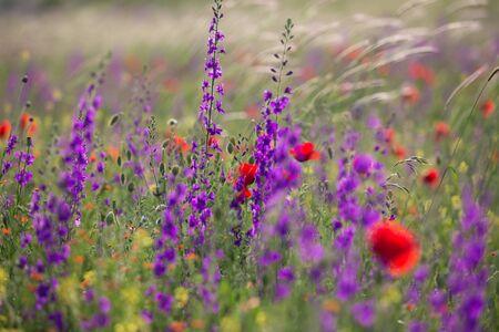 Belle nature de prairie d'été. Fleurs de printemps et d'été sous ciel bleu et soleil près de Shemakha, Azerbaïdjan.