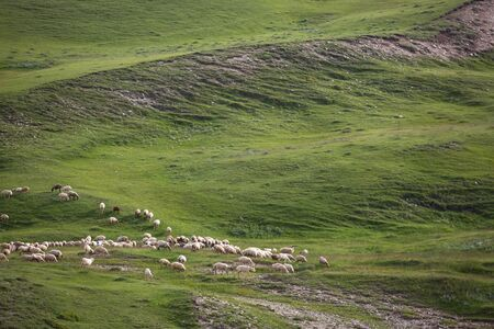 A flock of sheep eating grass in the green hills of the High Caucasus near Shemakha, Azerbaijan