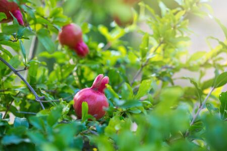 Ripe pomegranate tree is growing in garden garden. Tree branch with fresh pomegranate. 写真素材