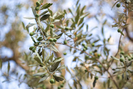 Olives on a branch of an olive tree. Detail close-up of green fruit olives with selective focus and shallow depth of field Reklamní fotografie - 150727234