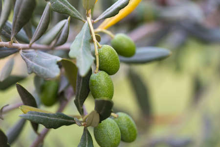 Olives on a branch of an olive tree. Detail close-up of green fruit olives with selective focus and shallow depth of field