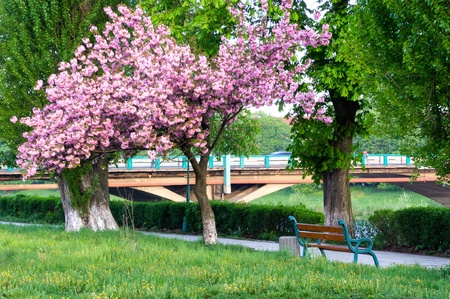 landscape with cherry blossoms on the waterfront photo