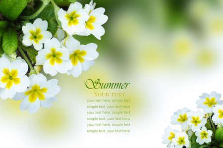 primrose: small white flowers primrose summer background Stock Photo