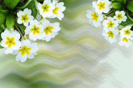 primrose: small white flowers primrose  background