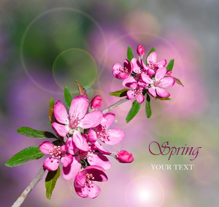 pink cherry blossom border background photo