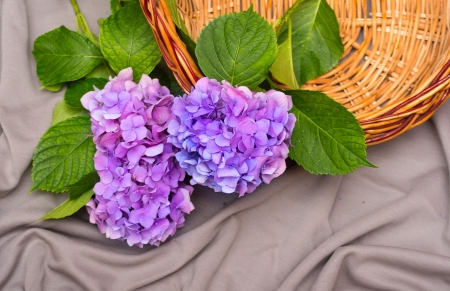 three hydrangea flower on a gray background with wooden basket photo