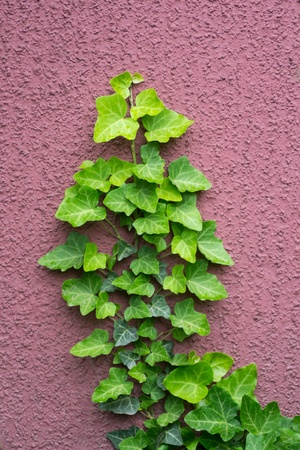 wil: wild ivy grows on the red wall Stock Photo