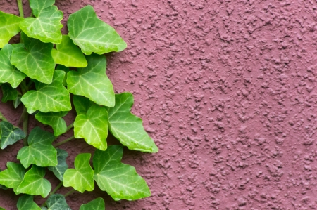 wil: Green ivy growing on a red wall