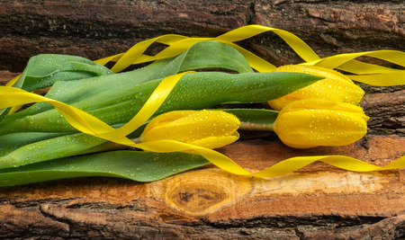 Fresh yellow tulips with a ribbon and drops of water on them  a natural wooden board. photo