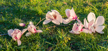magnolia branch: magnolia branch on the grass in the sun Stock Photo