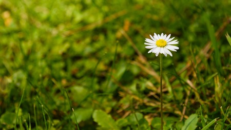 Chamomile on a green meadow alone summer