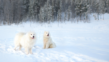 two Samoyed dogs walk in the winter forest