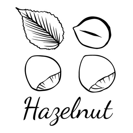 Doodle sketch hazelnut on white background