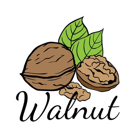 Doodle sketch walnut on a white background, cartoon drawing of nuts Ilustração