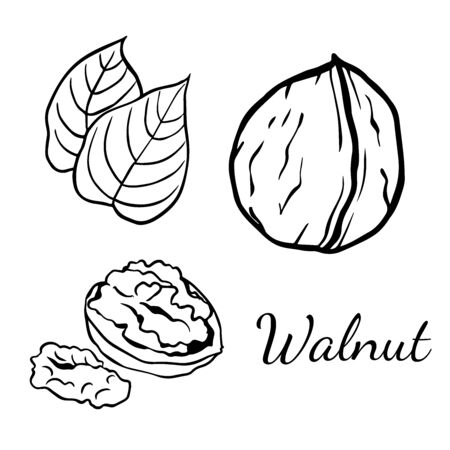 Doodle sketch walnut on a white background, cartoon drawing of nuts Illustration