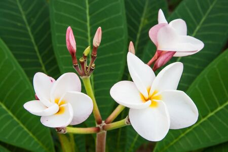Star Frangipani flower and leafs photo