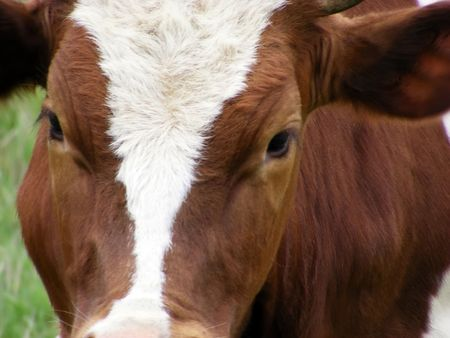 Head of a cow close-up on a green meadow in the sunny day Stock Photo - 4958730