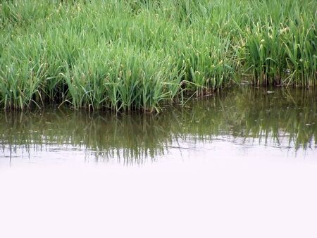 Low thickets of reeds on the shore of a small lake Stock Photo - 4958731