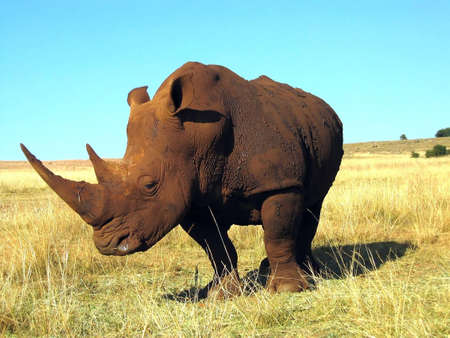 Rhinoceros close-up on a background of blue sky in the savanna in sunny day Stock Photo