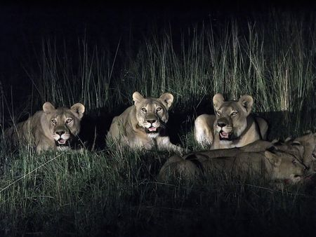 A flock of lions in the savanna thickets of bushes at night Stock Photo