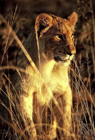 Lion in nature exploring the terrain in the rays of the setting sun
