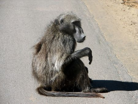 Adult monkey sits at the side of road in sunny day photo