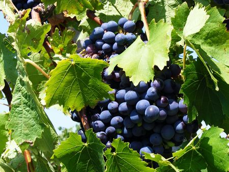 Bunches of blue grapes on a branch with green leaves on a sunny day