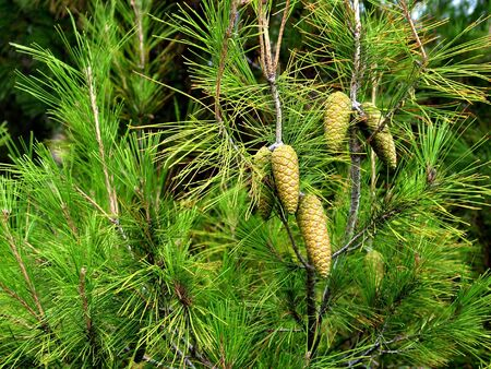 Bunch of pine cones on a branch of wood in sunny day                                Stock Photo