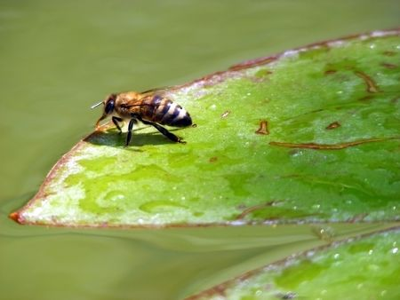 Bee on a green sheet of water lilies on a sunny day Stock Photo